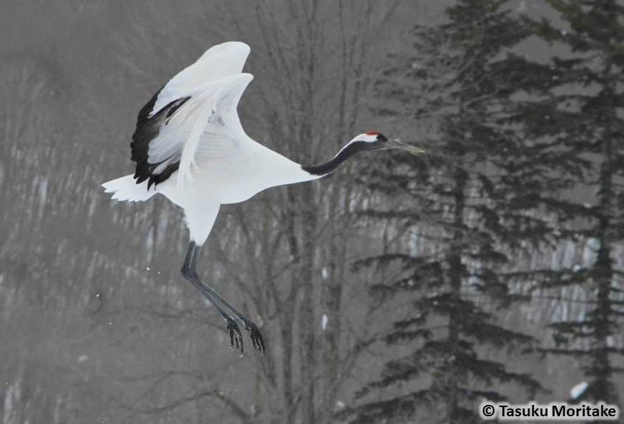 red crowned crane conservancy home